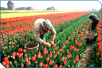 Harvesting Tulips, Netherlands